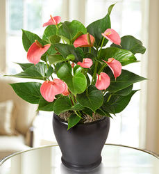 Pink Hearts Anthurium From Rogue River Florist, Grant's Pass Flower Delivery