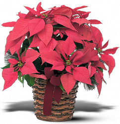 Poinsetta Basket From Rogue River Florist, Grant's Pass Flower Delivery