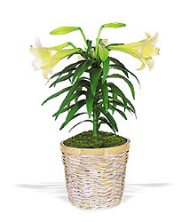 Easter Lily Plant From Rogue River Florist, Grant's Pass Flower Delivery